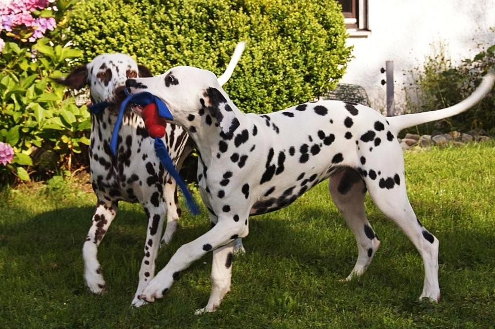 Dalmatiner Vom Roten Herzfleck Dalmatinerwelpen Aus Vdh Zucht In Bayern